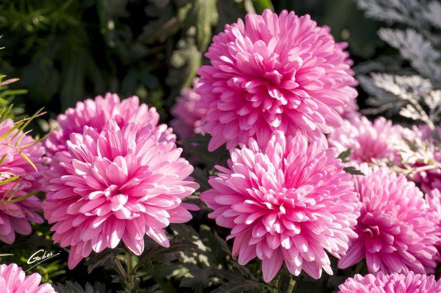 Chrysanthemum grandiflorum 2020 04