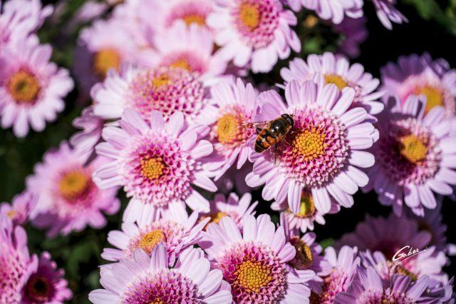 Chrysanthemum indicum 2020 02