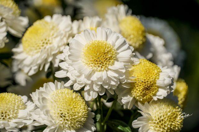 Chrysanthemum indicum 2020 05