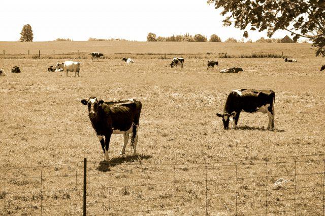 Cows  01