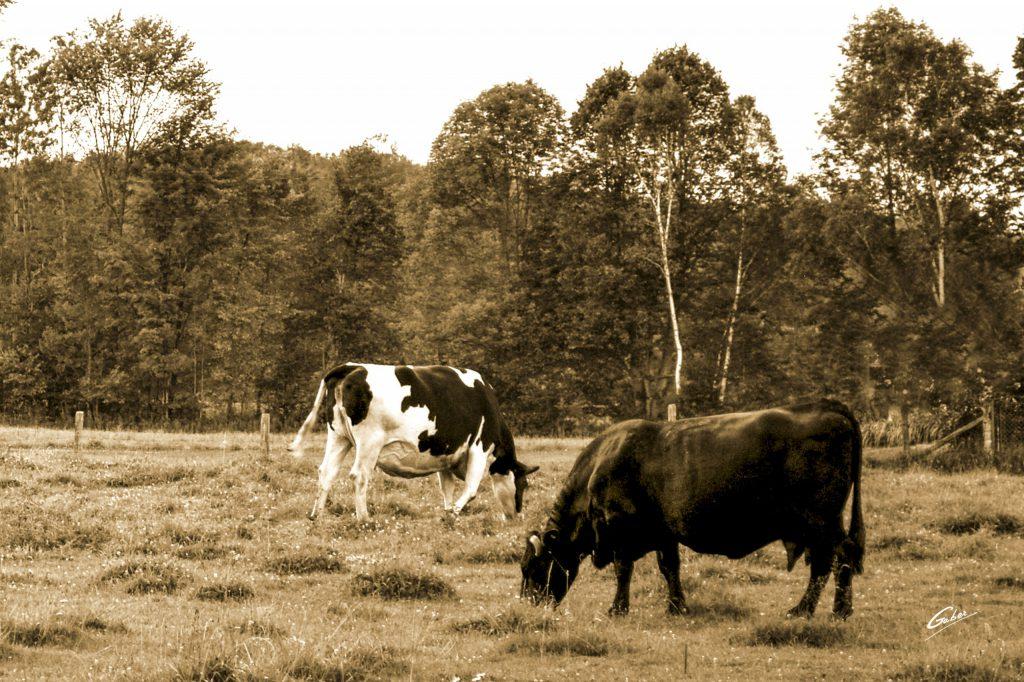 Cows  03