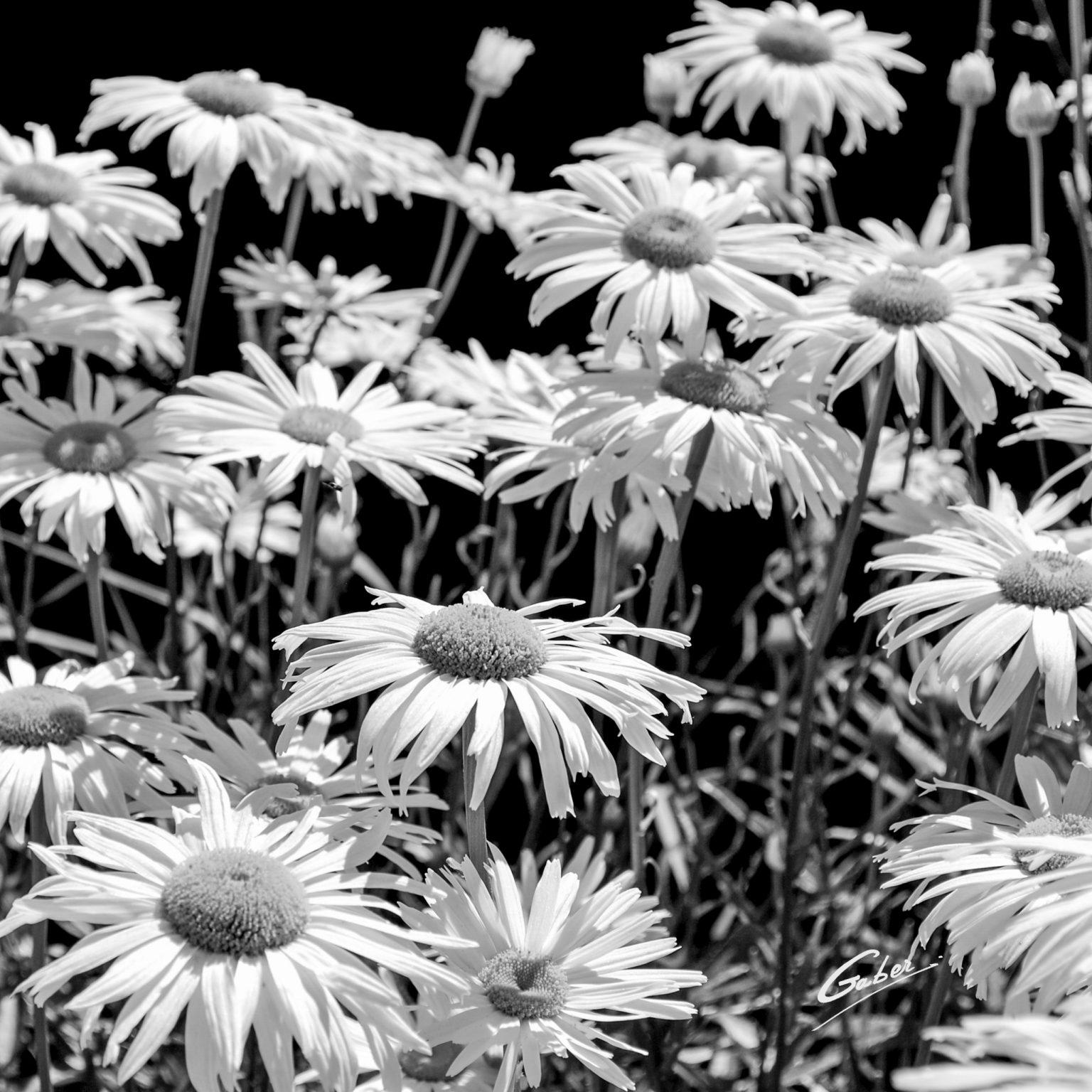 Daisies_(Bellis perennis)_29b_16x16_FINAL_GAB-BW08-F-054