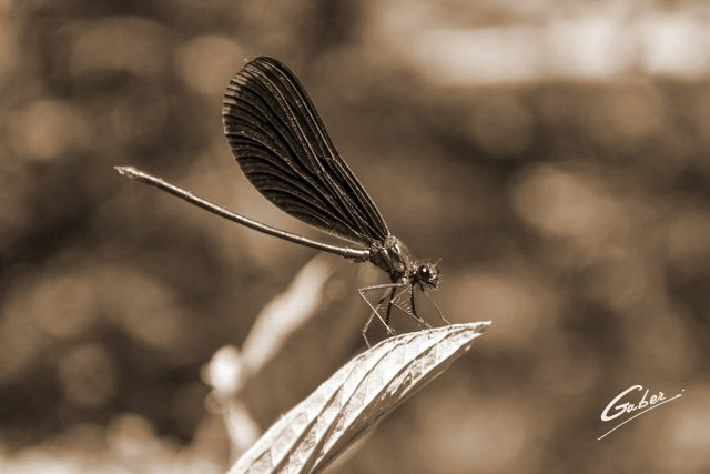 Damsel Fly  05