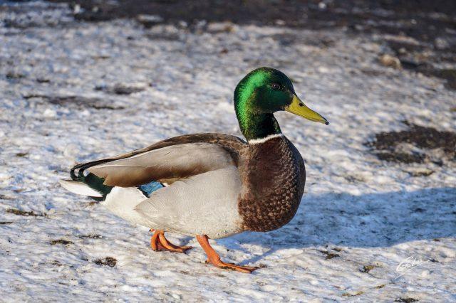 Ducks 2020 06