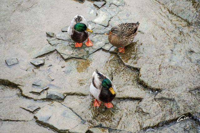 Ducks  2021 02
