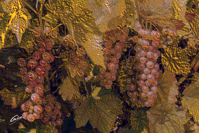 Green Grapes on wine tree 2018  06