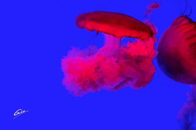 Pacific Sea Nettles (Chrysaora fuscescens) 2018 01