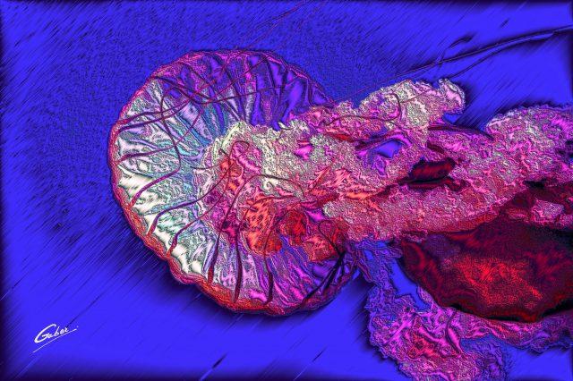 Pacific Sea Nettles (Chrysaora fuscescens) 2021  02