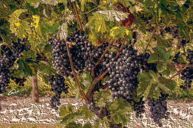 Red Grapes on wine tree 2018 02