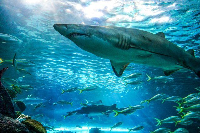 Sand Shark (Carcharias Taurus) 2018 01