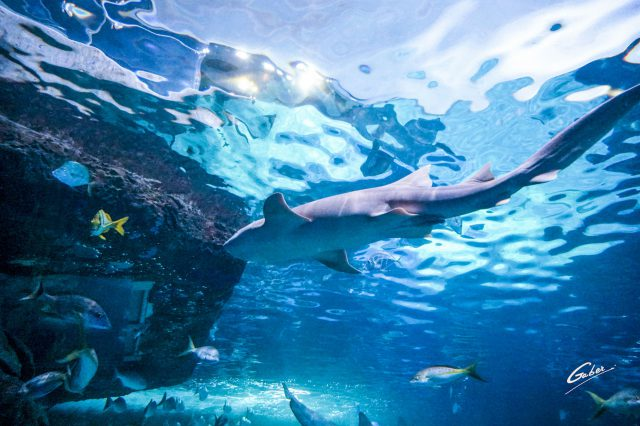 Sand Shark (Carcharias Taurus) 2018 04