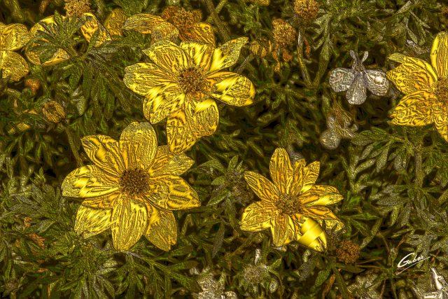 Bidens Bee Giant Yellow(Bidens ferulifolia) 2017 01