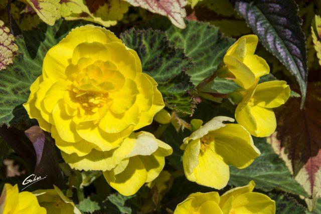 Camellia Begonia 01