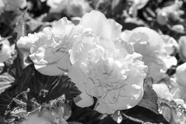 Camellia Begonia 02