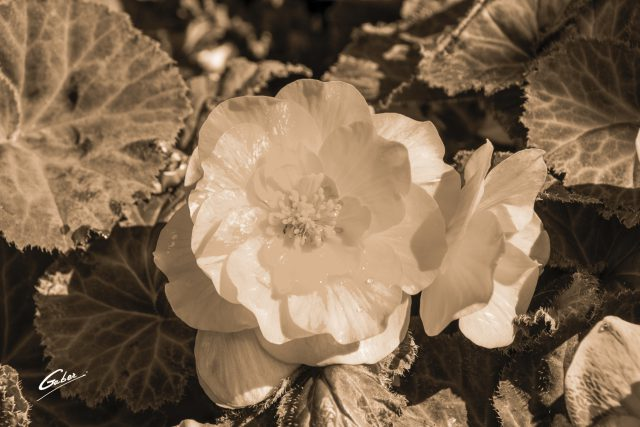 Camellia Begonia 03