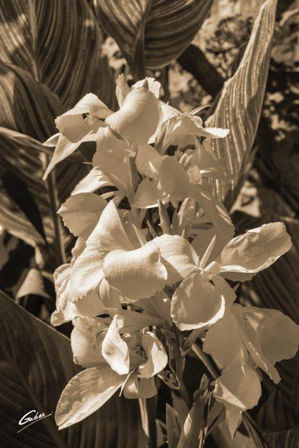 Canna Lily 01