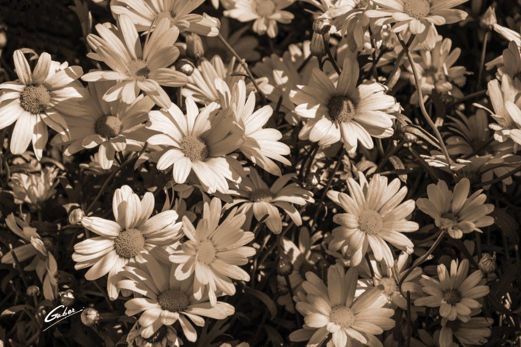 Marguerite Daisy (Argyranthemum) 01