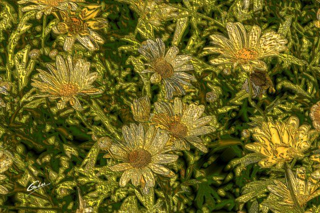 Marguerite Daisy (Argyranthemum) 2017 02
