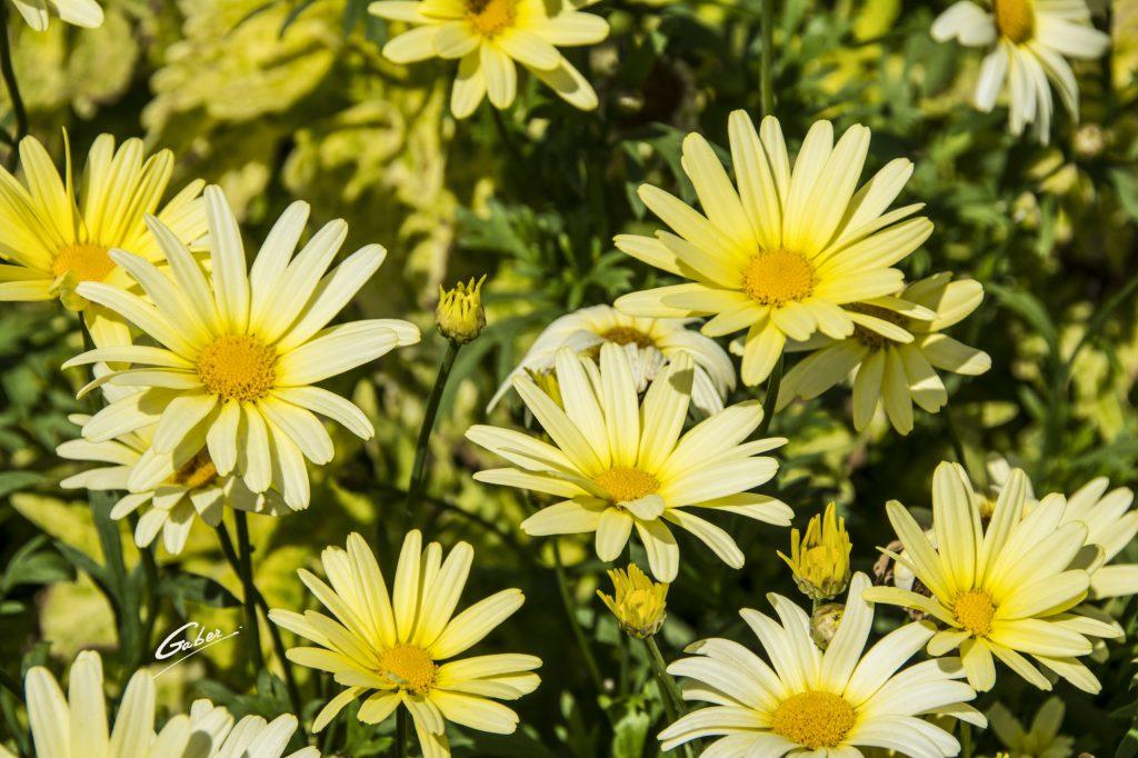 Marguerite Daisy (Argyranthemum) 02