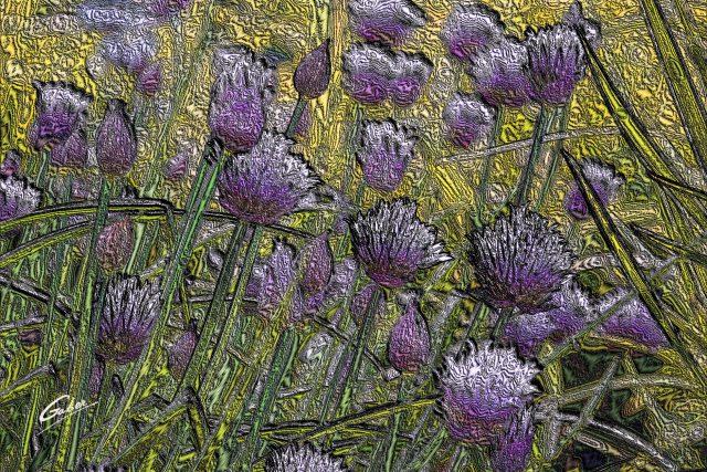 Allium schoenoprasum (Wild Chives)  2011  01