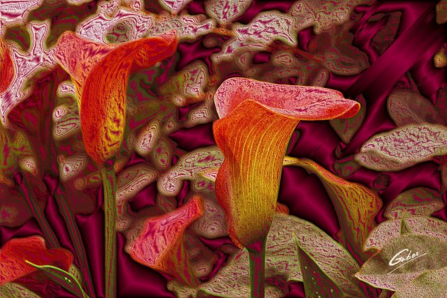 Calla Lilies bloom 2011  01