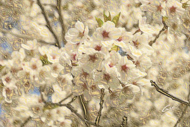 Cherry Blossoms (Prunus serrulata) 2011  05