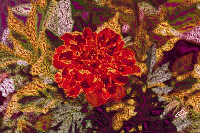 Marigold in full bloom 2013  03