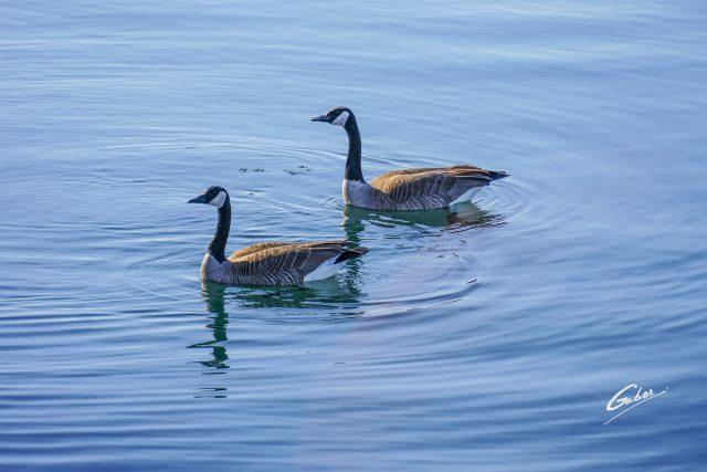 Bird Canada Geese 2021  01