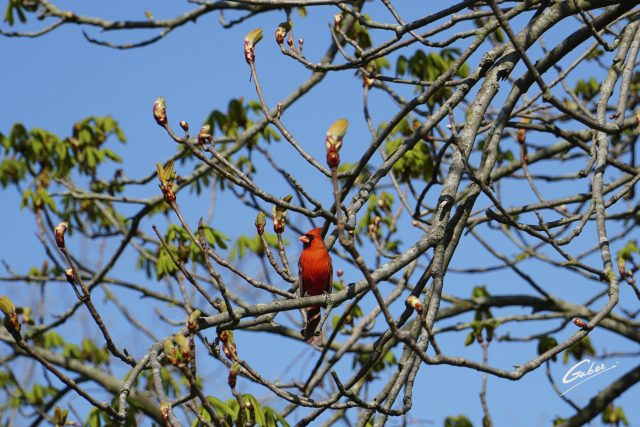 Bird Cardinal (Cardinalis cardinalis)  01