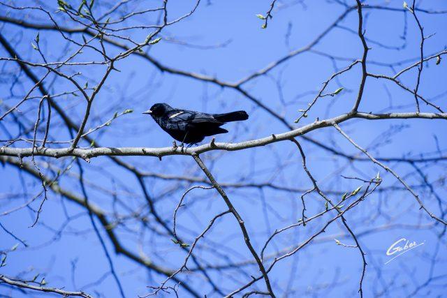 Bird Red winged Blackbird (Agelaius phoeniceus) 04