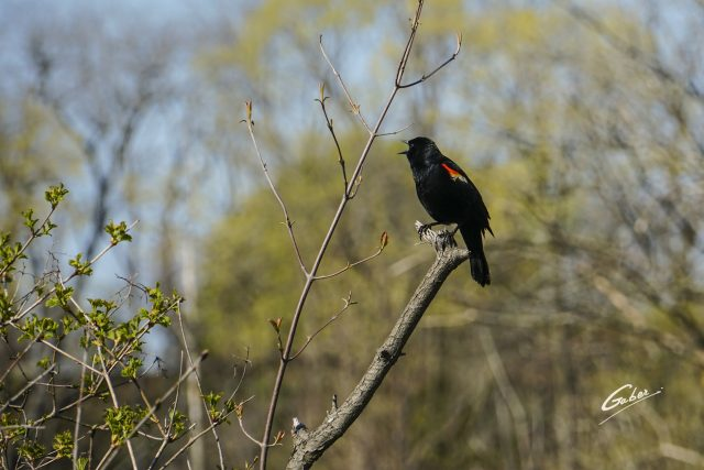 Bird Red winged Blackbird (Agelaius phoeniceus) 03