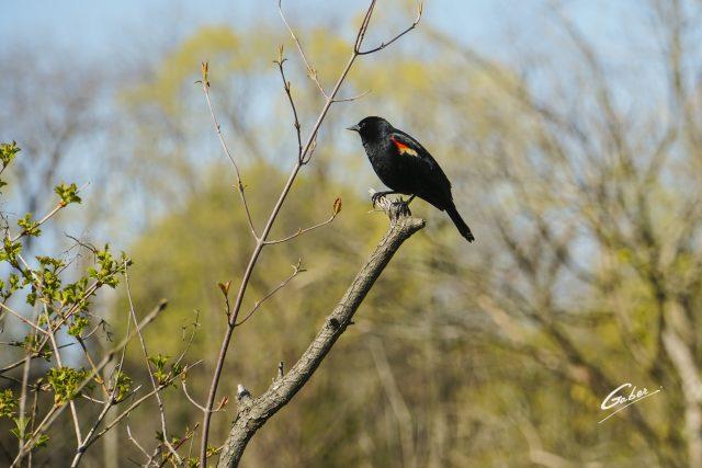 Bird Red winged Blackbird (Agelaius phoeniceus) 01