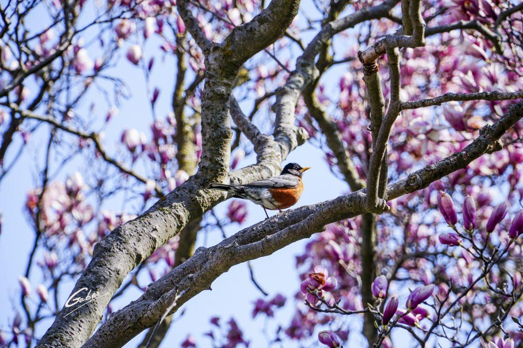 Bird Robin (Turdus migratorius) 01