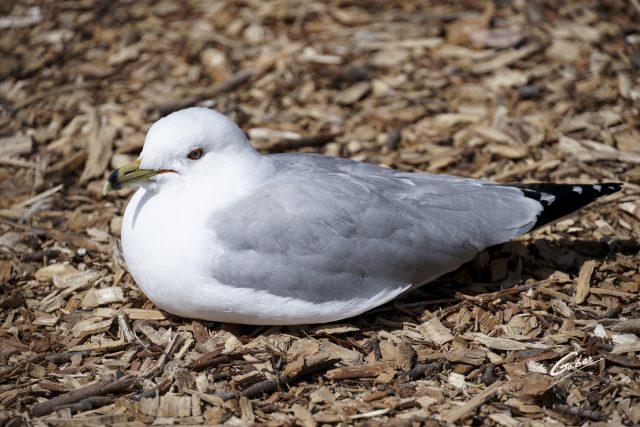 Bird Seagul  01