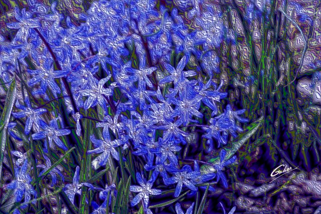 Early Spring 2021 Glory of the Snow (Scilla sardensis)  01