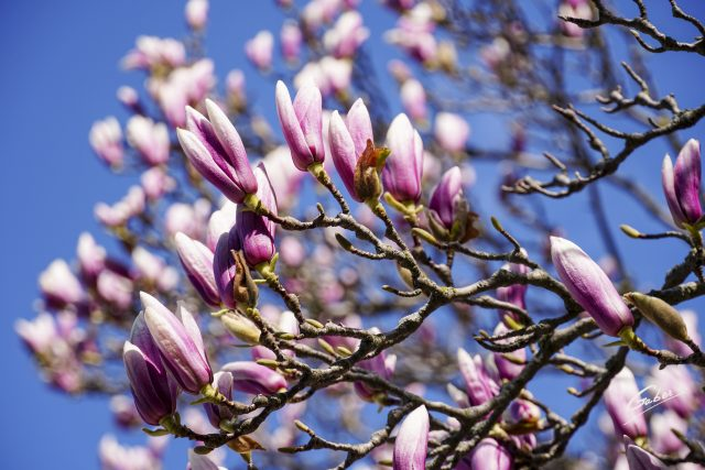 Early Spring 2021 Magnolia  05