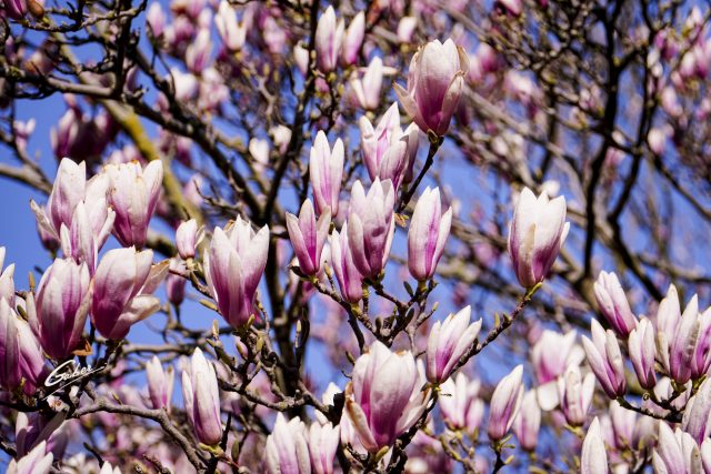 Early Spring 2021 Magnolia  17
