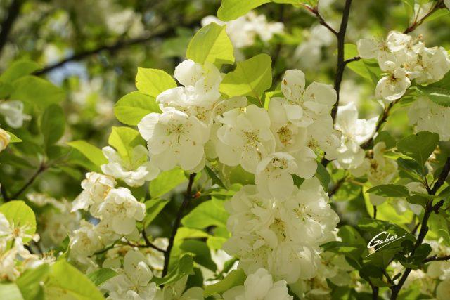 Late Spring 2021 Apple tree in Bloom  01