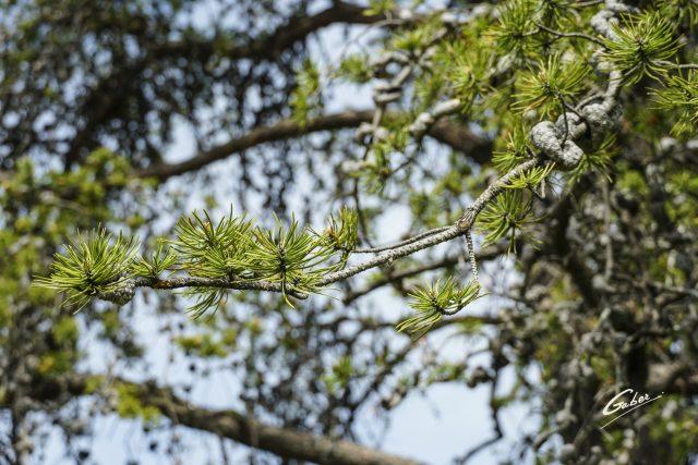 Late Spring 2021 Atlas cedar tree  02