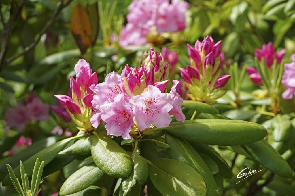 Late Spring 2021 Azelea in Bloom  03