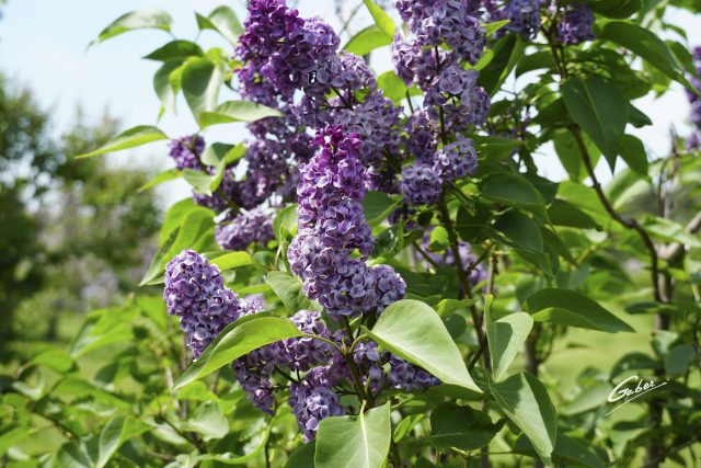 Late Spring 2021 Lilac in Bloom  01