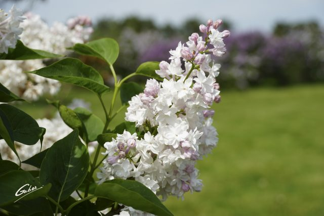 Late Spring 2021 Lilac in Bloom  07