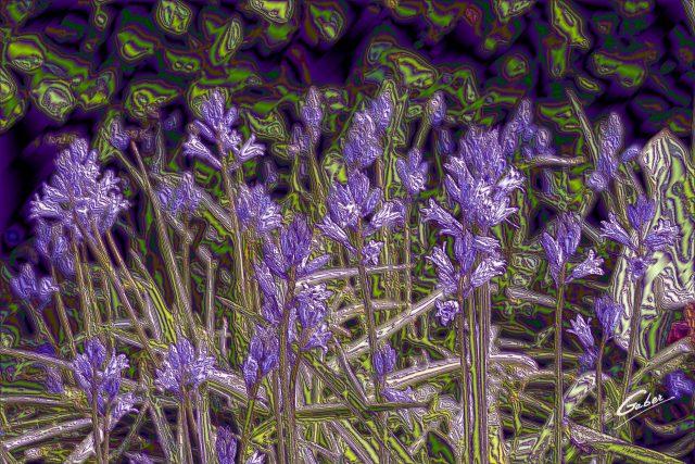 Late Spring 2021 Spanish Bluebell (Hyacinthoides hispanica)  01