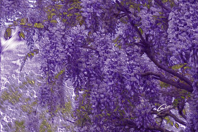 Late Spring 2021 Wisteria tree in Bloom  03