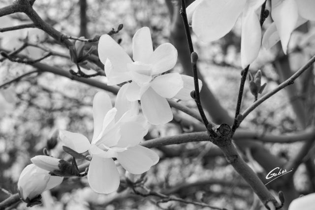 Early Spring 2021 Magnolia  04