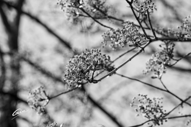 Landscape 2021 Early Spring Tree Blooming buds  02