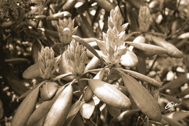 Late Spring 2021 Azelea in Bloom  05