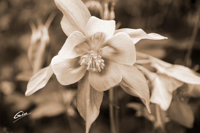 Late Spring 2021 Columbine in Bloom  08