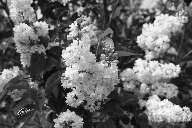 Late Spring 2021 Lilac in Bloom  06