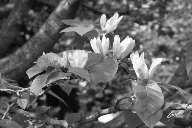 Late Spring 2021 Magnolia tree in Bloom  02